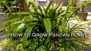 how to grow pandan