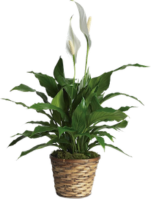 plants that purify air
