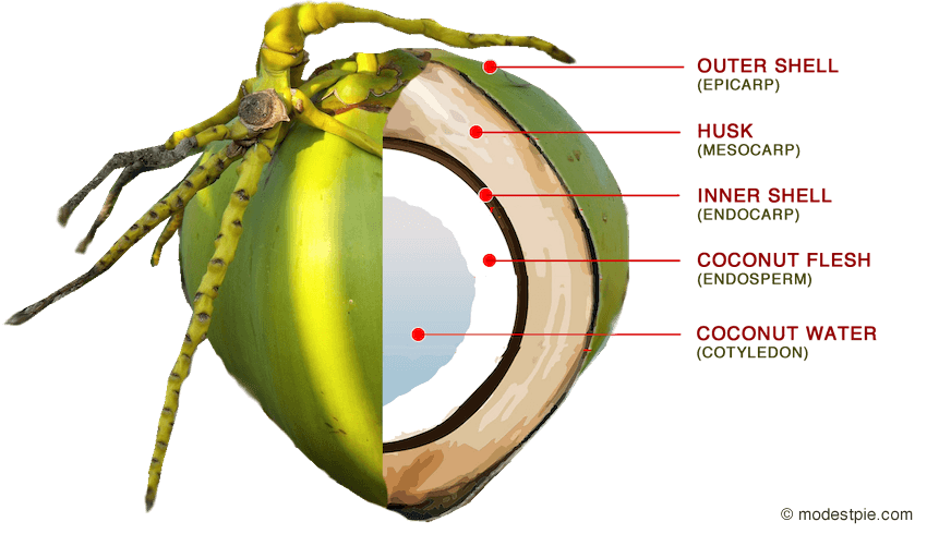 parts of a coconut